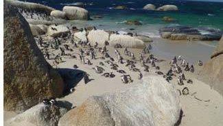 דרום אפריקה - פינגווינים בבולדרס